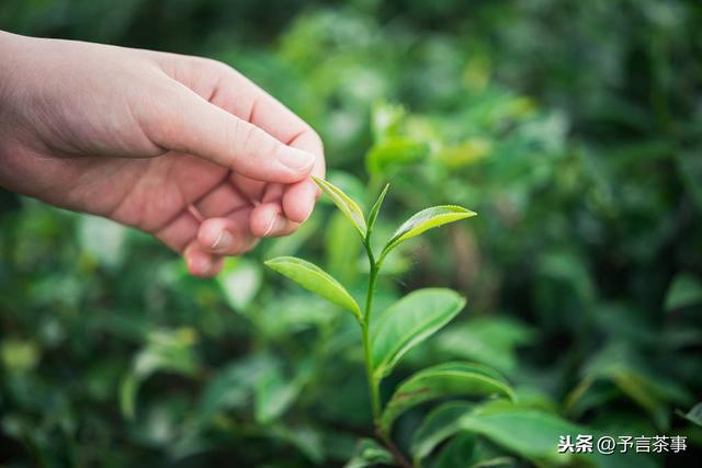 岳西茶叶种植历史起源于何时?岳西翠兰名称的由来?看完就懂