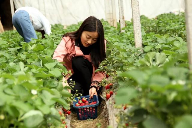 搞事变!平顶山周边嵖岈山狂送草莓!连唐僧师徒都被吸收来了……插图4