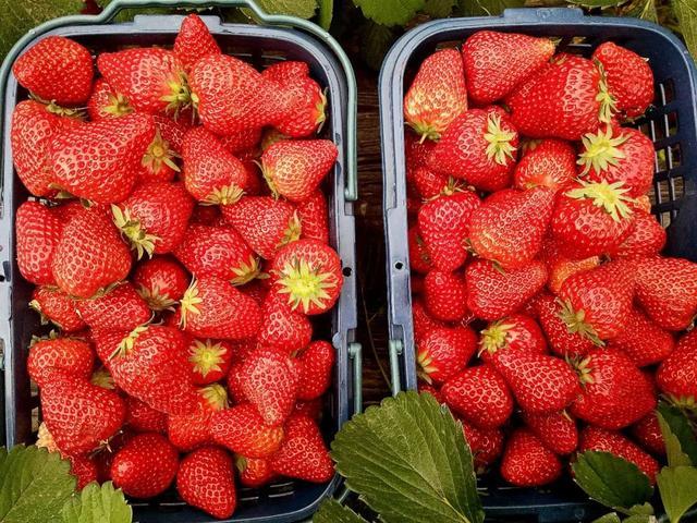 搞事变!平顶山周边嵖岈山狂送草莓!连唐僧师徒都被吸收来了……插图19