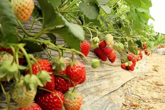 平顶山周边这座山太率性,假期还能摘草莓,前100名免费送!插图2