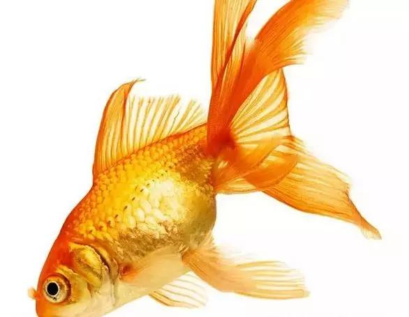 中国人什么都吃!为啥不吃金鱼?