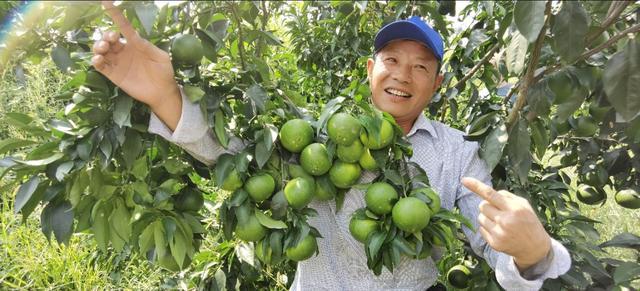 秭归返乡农民为追赶富裕,引5个柑橘新品种欲弯道超车,华美转身