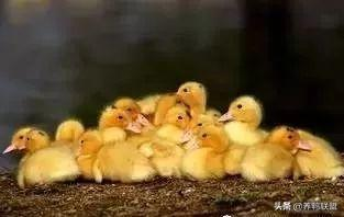 实用养鸭流程,养鸭朋友需要注意的