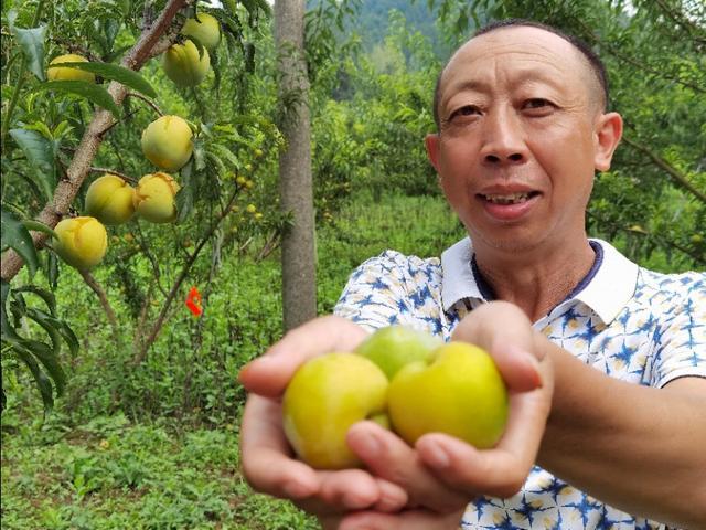 湖北宜昌:一农民异地种植高端水果,每斤40元,亩产值可超6万