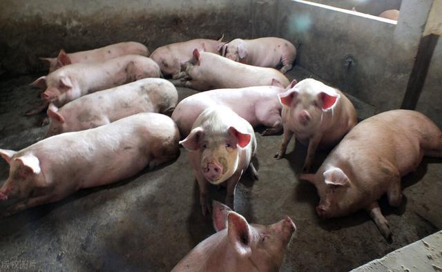 """10月16日猪价:东北,华北""""涨声再起"""",猪价又要反弹了?"""