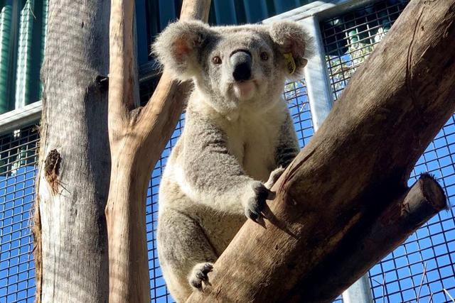 死亡、受伤、疾病……超6万只考拉受澳大利亚丛林大火影响