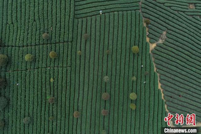 中国茶园种植面积第一省贵州 茶叶出口大增-今日股票_股票分析_股票吧
