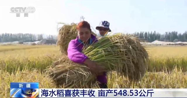 新疆:海水稻喜获丰收 亩产548.53公斤【www.smxdc.net】 全球新闻风头榜 第2张