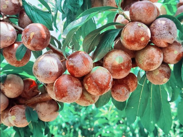 湖北宜昌:一农民种300亩紫红色李子,果如葡萄美,采摘6元1斤