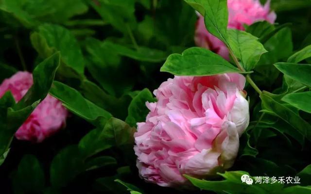牡丹花签名,牡丹花开,从容华贵,关于国花牡丹的名言美句!