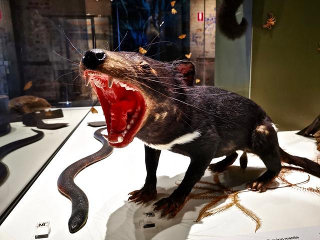 【缤纷塔斯马尼亚5】澳洲恶魔长啥样?跟我吃喝玩逛博物馆