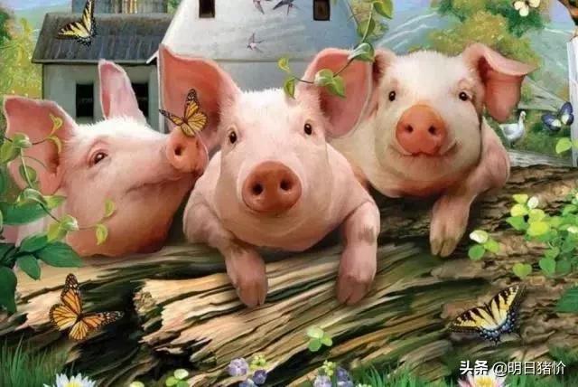 2020.10.19-明日猪价