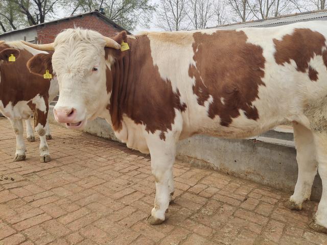 疯狂的牛价背后是什么在支撑?我国目前支持这么高的牛行情么?