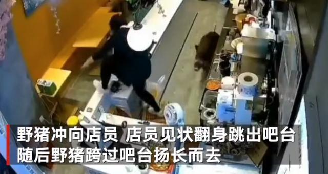 """野猪窜进商场奶茶店 一路""""飞檐走壁""""吓得女店员惊叫连连"""