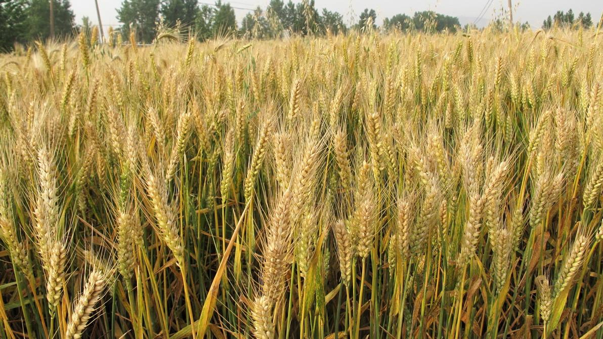 小麦种植施肥管理
