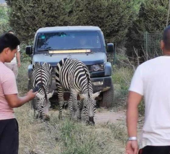 动物园5匹斑马出逃成功越狱? 系管理不到位造成?