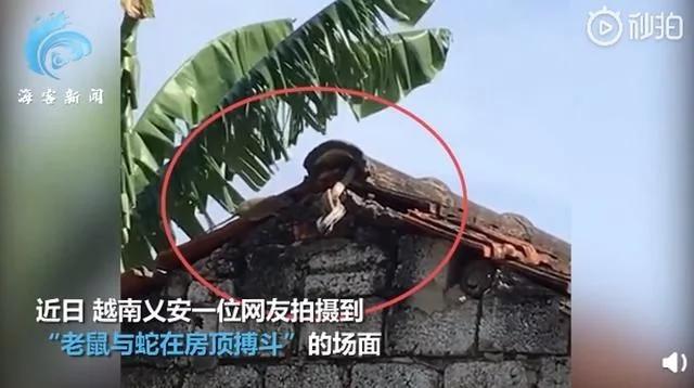 越南一老鼠与蛇搏斗救下幼崽,网友:虽然是四害,但谁的孩子谁去爱
