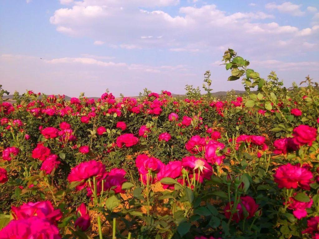 上海崇明海上花岛玫瑰庄园成人票